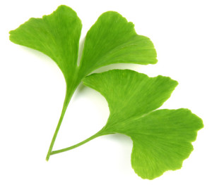 green-ginkgo-biloba-leaves-300x263