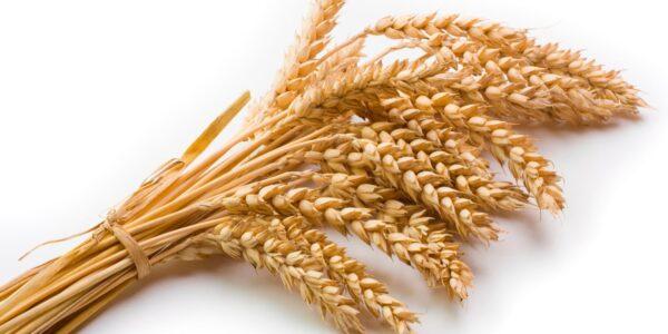 wheat2-min